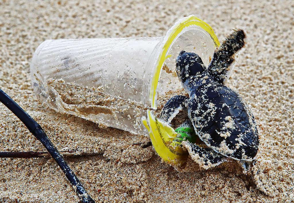 塑膠垃圾流入自然環境,影響生態的健康與安全。圖為印尼蘇門答臘海灘上的綠蠵龜寶寶,正在逐步爬入廢棄塑膠杯。