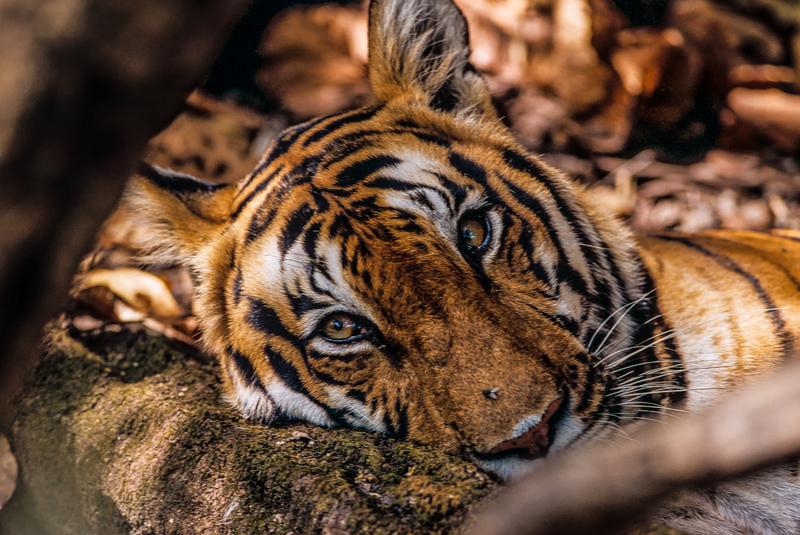 每隻老虎身上的紋路就如同人類的指紋般獨特。