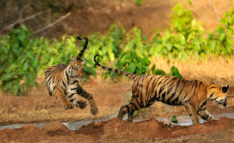 印度塔多巴保護區的老虎。