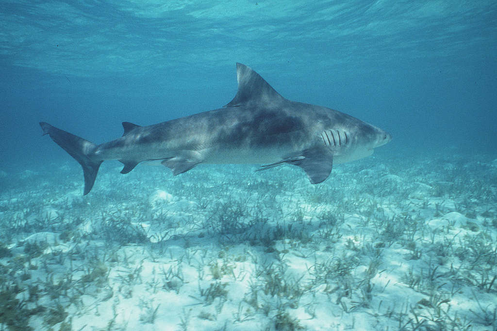 俗稱公牛鯊的低鰭真鯊,經常出沒於溫暖及沿岸淺水及河流區域,牠們經常是造成近岸攻擊人類事件的元兇