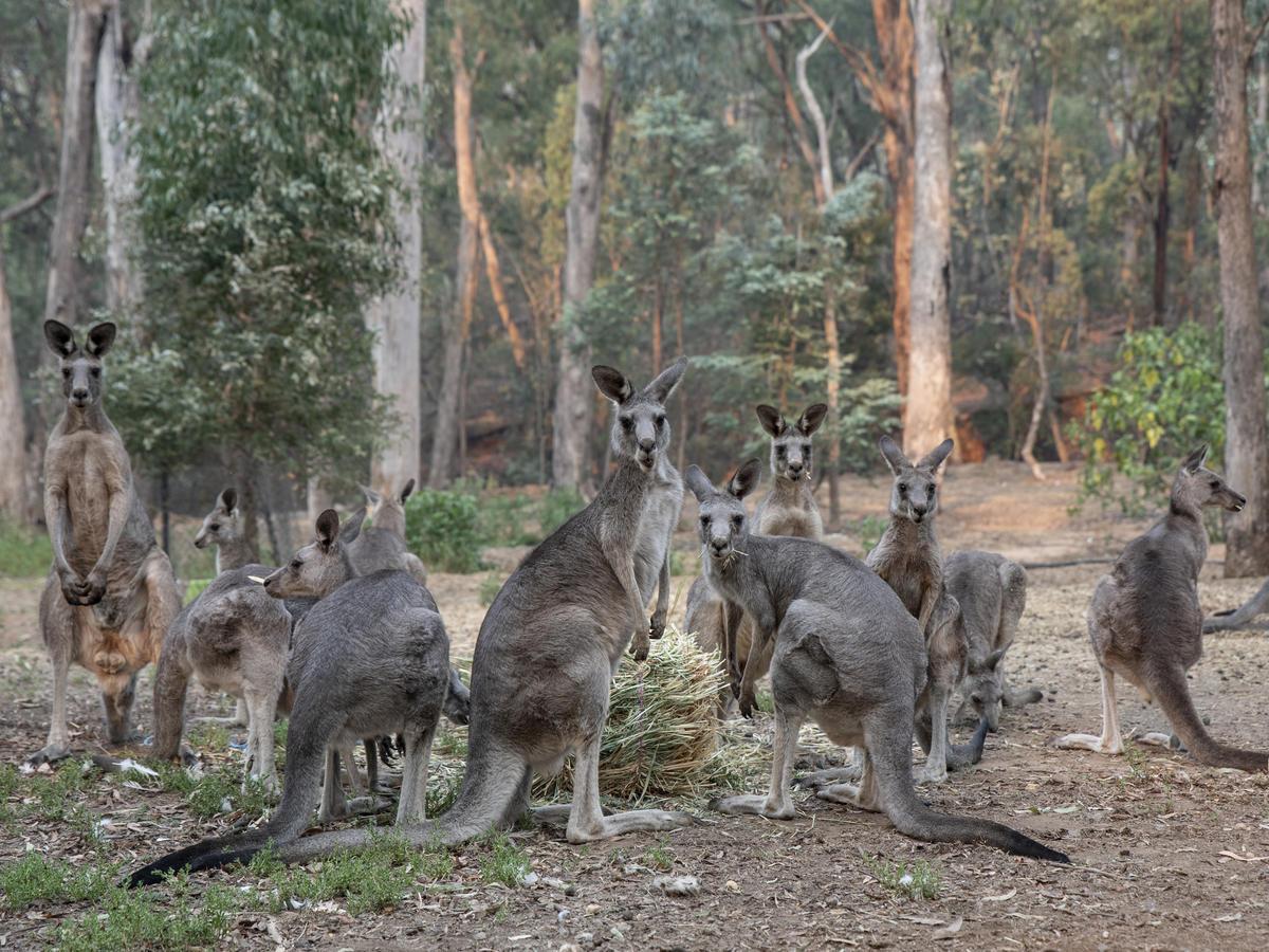 澳洲大火造成上億動物喪生,倖存的動物必須想辦法從有限的棲地尋找食物和住處。照片是位於澳洲維多利亞的袋鼠野生動物收容所。
