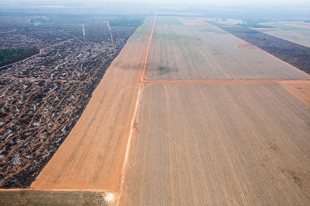 馬托格羅索州(Mato Grosso)的林地因擴展農業,被砍伐和焚毀。綠色和平從馬托格羅索周北部的上空飛過,指出近期以毀林取得生產大豆和建置牛牧場農地的證據。
