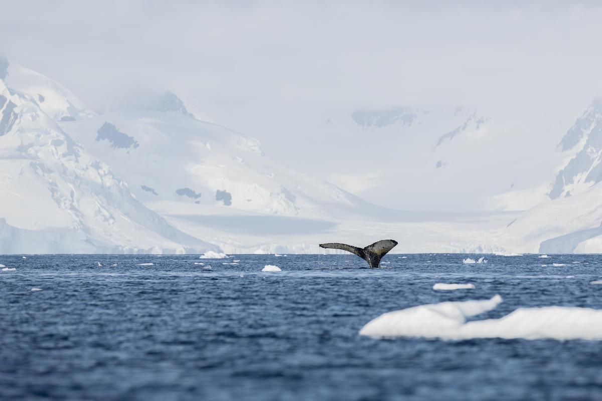 2020年,綠色和平於南極展開多項科學研究,包括座頭鯨從繁殖地來回遷徙南極覓食的關聯與挑戰。自1986年實施商業捕鯨禁令,座頭鯨數量正在逐步回升。