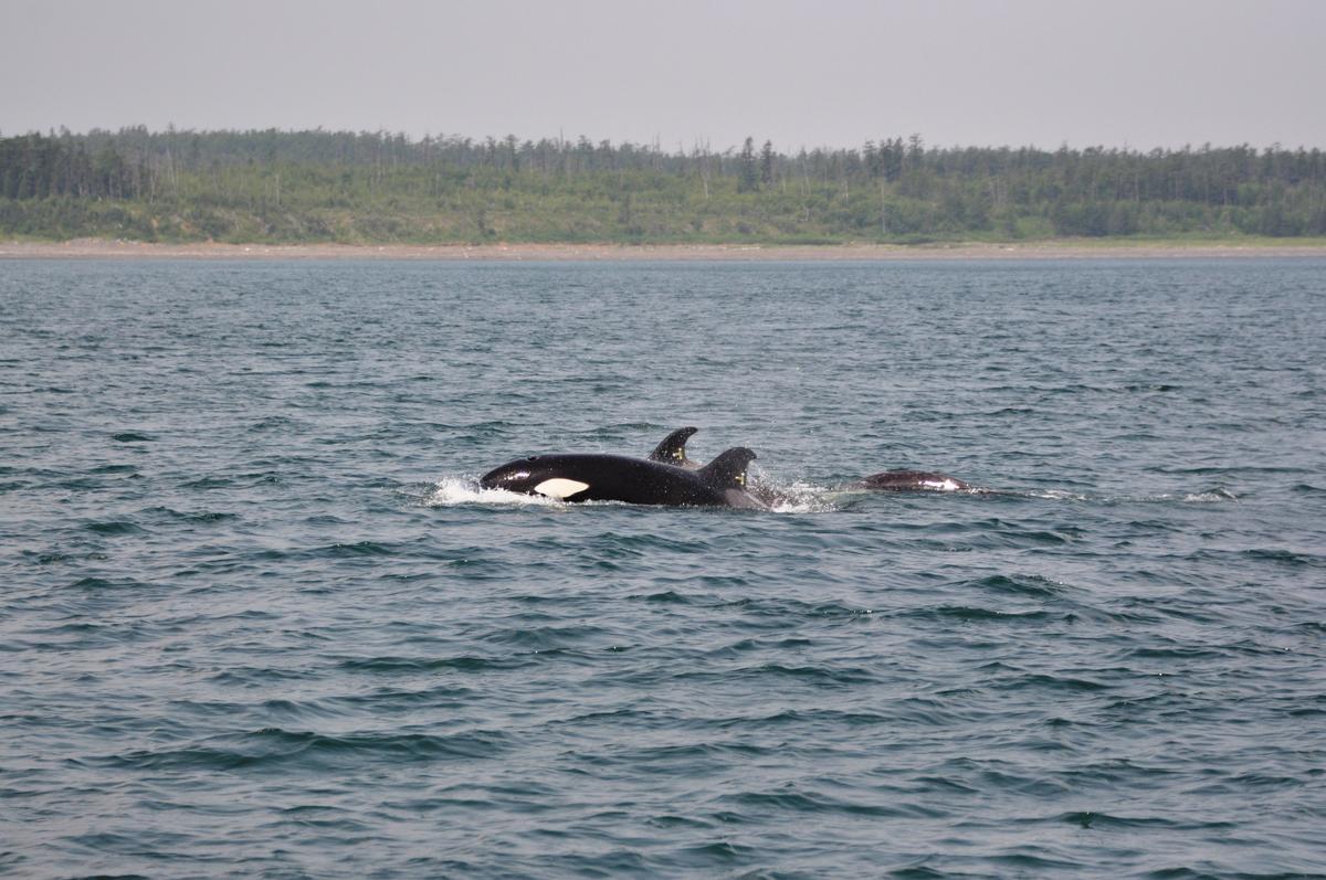 2019年8月6日,第三批獲救的虎鯨歷經為期5天的拯救行動,終於回到位於鄂霍次克海的家。綠色和平俄羅斯辦公室全程以獨立第三方身份觀察,確保鯨魚平安抵達。