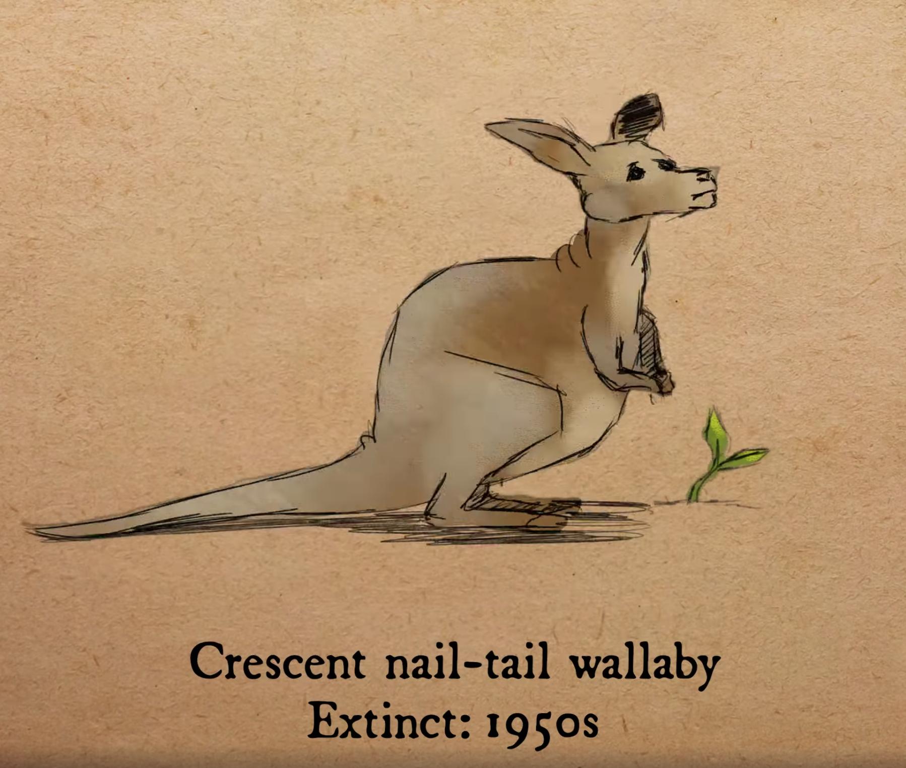 新月甲尾袋鼠(Crescent nail-tail wallaby)