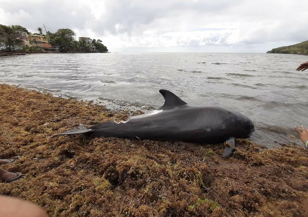 貨輪擱淺後,模里西斯海岸附近,發現數隻死亡的海豚。