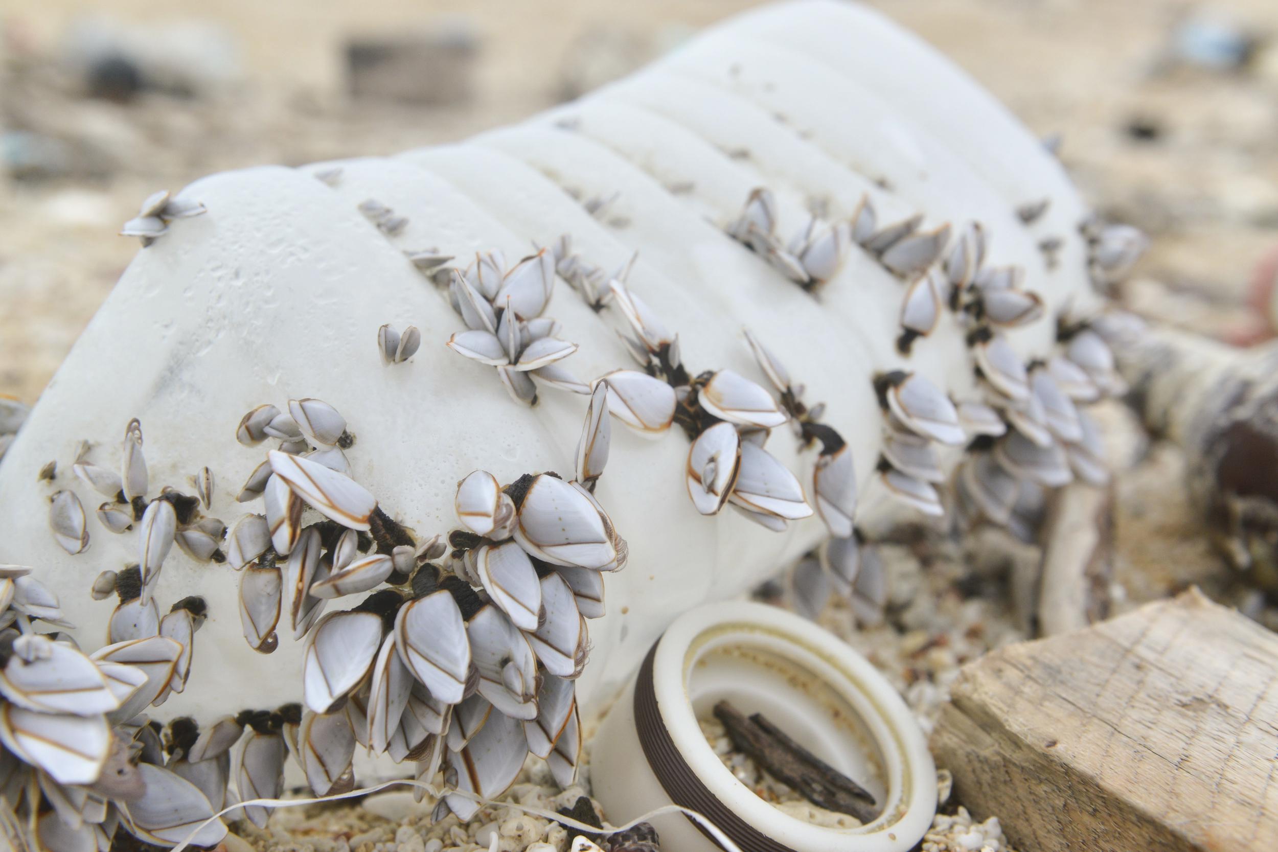 原本應該附著在岩石或珊瑚礁上的貝類,竟生長在塑膠上,顯見塑膠廢棄物已對海洋生態造成影響。