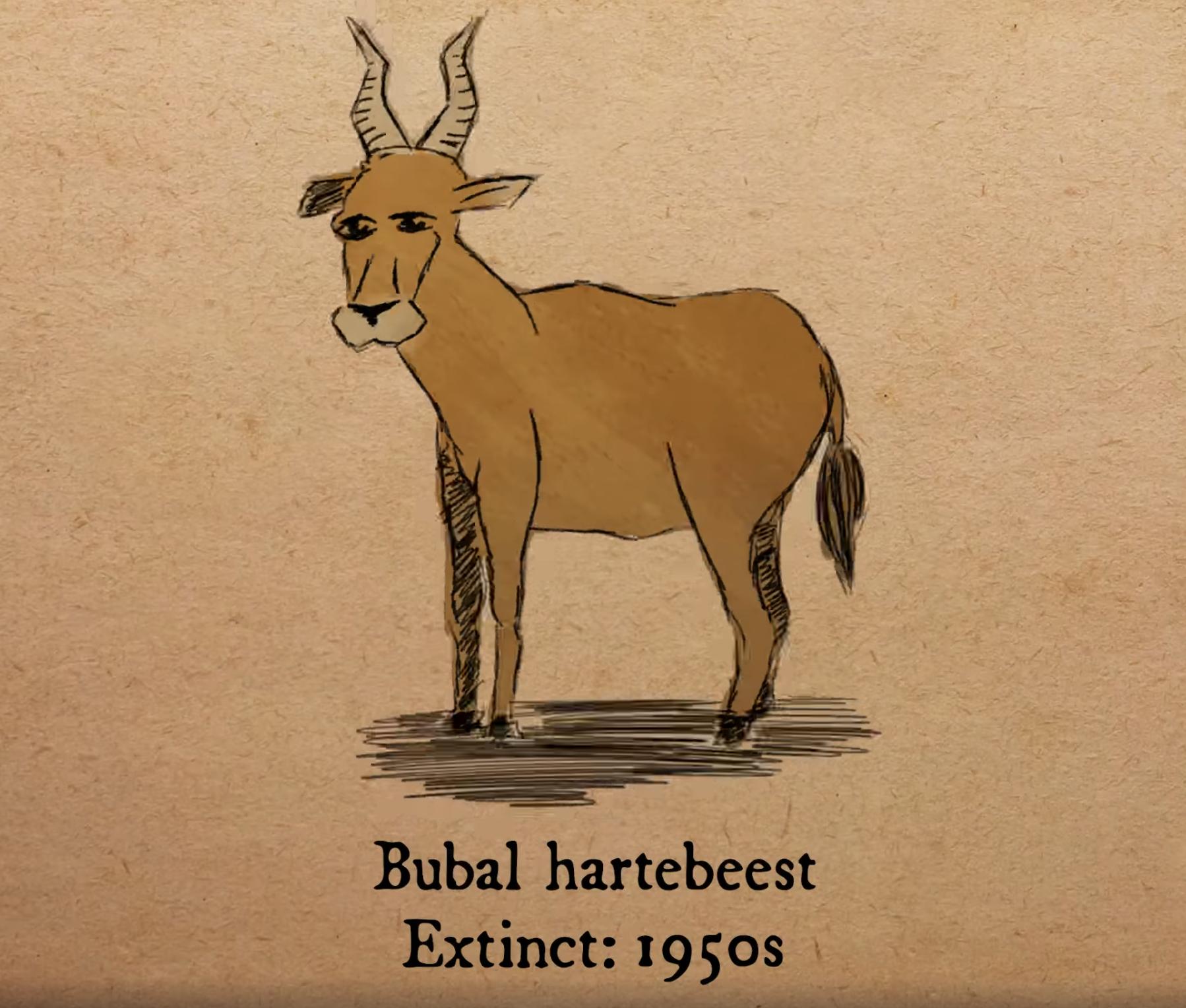 北非狷羚(Bubal hartebeest)