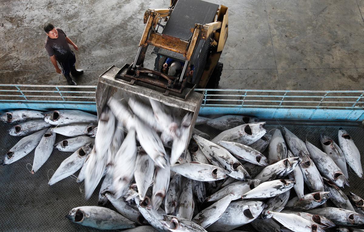臺灣鮪魚捕撈量全球第一,為漁民創造數百億商機,然而過度捕撈也讓全球鮪魚數量在這60年間銳減96.4%,造成鮪魚瀕危。