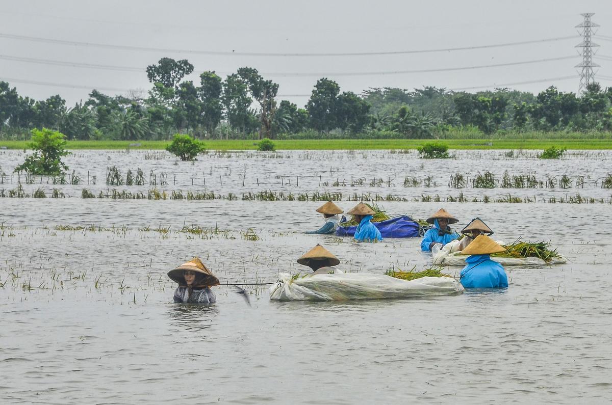 2019年1月連日豪雨,導致印尼爪哇島中部至少200公頃的稻田被洪水淹沒。