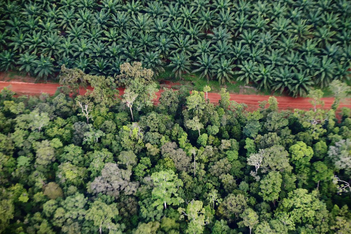 印尼企業將原有的雨林剷除,改種單一油棕樹種,過程不僅釋放大量碳排,更破壞原有生態與生物多樣性。