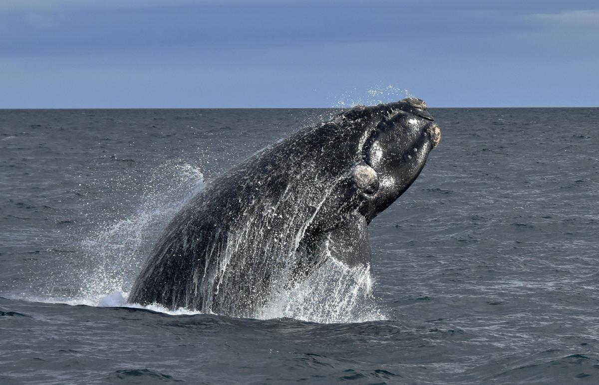 鯨魚在海洋中扮演重要角色,不僅能維持生態平衡,更有助於碳儲存,減緩氣候變遷。然而牠們的棲息與遷徙環境範圍廣闊,被人為活動侵擾已威脅牠們的生存。