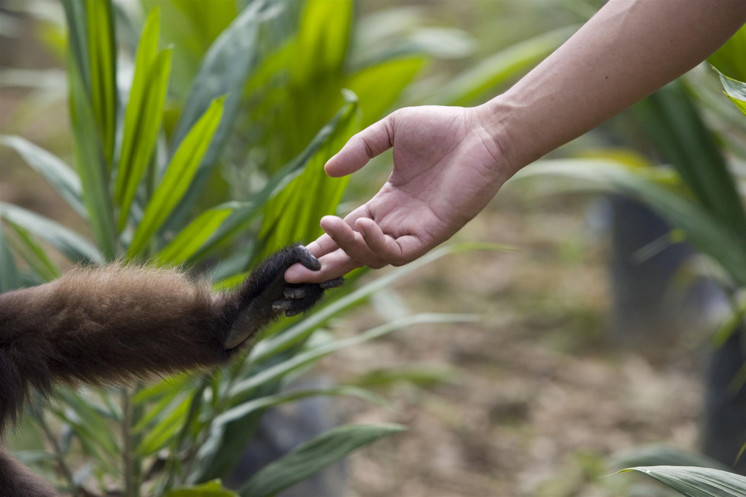 印尼婆羅洲中部的葉猴(Trachypithecus)握著當地村民的手。© Greenpeace / Ardiles Rante