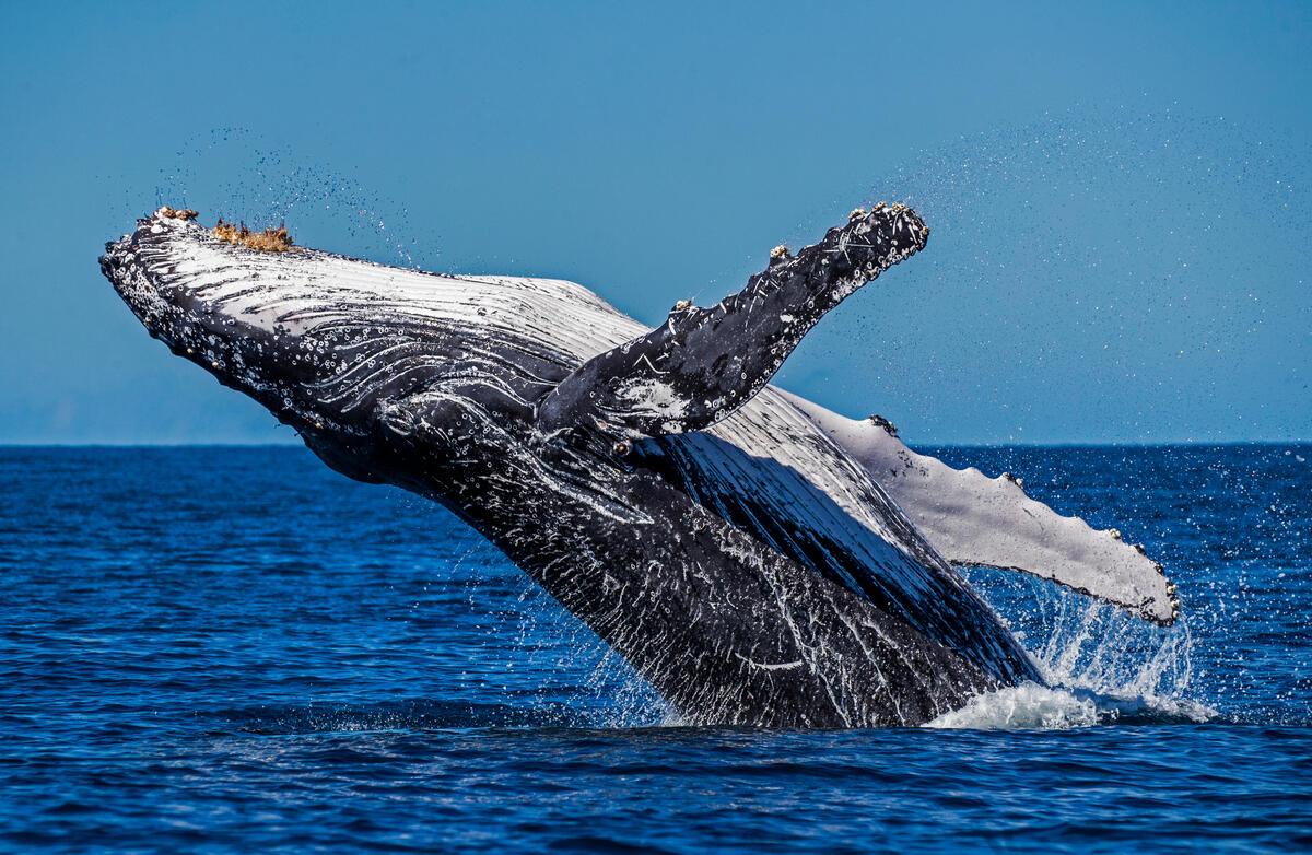 座頭鯨(大翅鯨)是海洋中指標性生物,也是《男人與他的海》紀錄片中的重要角色。此照片為2020年8月,綠色和平攝影師漁澳洲大堡礁所記錄的珍貴畫面。