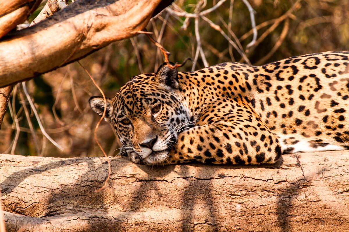 2020年的大火,吞噬超過20%的潘塔納爾濕地,威脅這裡及全球的生物多樣性,包括以這裡為家、目前已被納入為瀕危物種的美洲豹。© Leandro Cagiano / Greenpeace