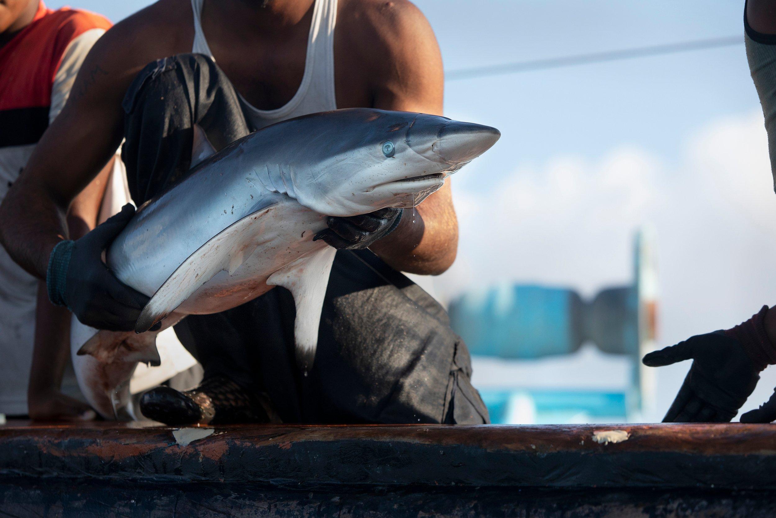 亞洲許多地區因為對鯊魚鰭製成的「魚翅」存在迷思,大量消費魚翅,成為鯊魚瀕臨絕種的禍首之一。© Abbie Trayler-Smith / Greenpeace