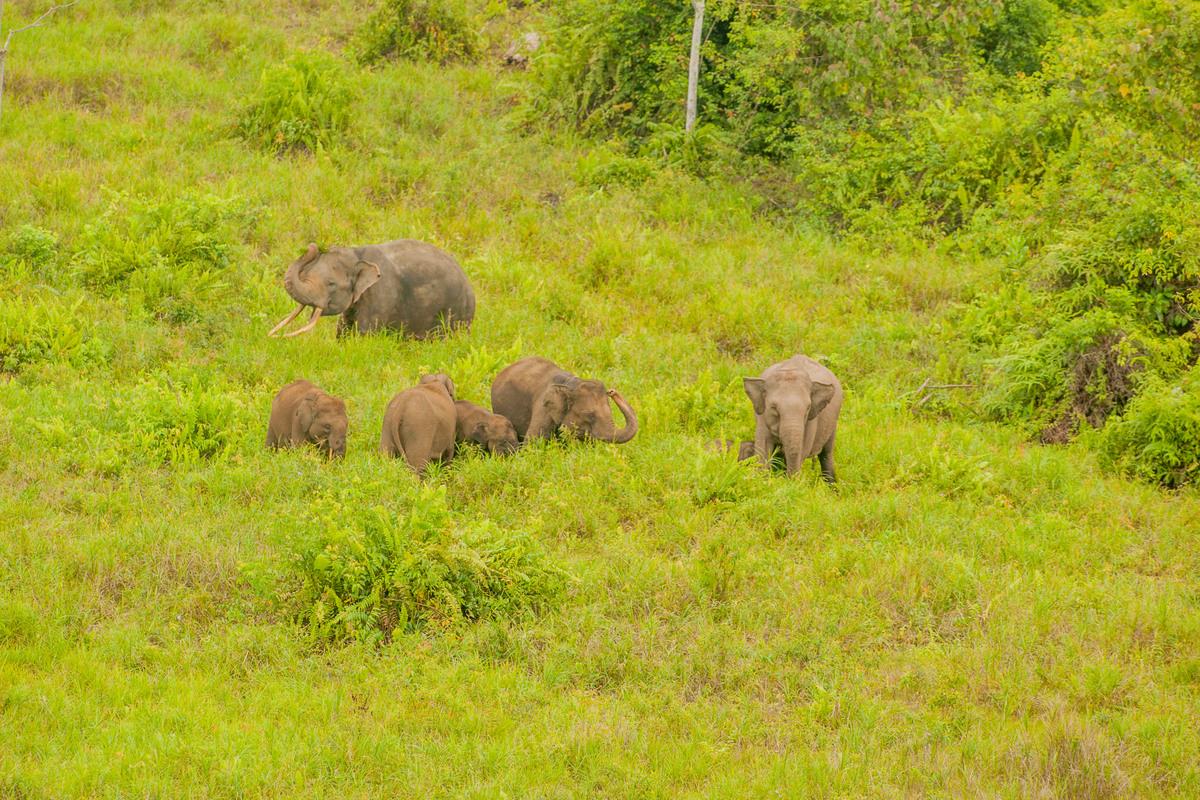 森林是大象的主要棲地,然而因人類為商業用途不斷侵入、開發,正在減少中。© Ardiles Rante / Greenpeace
