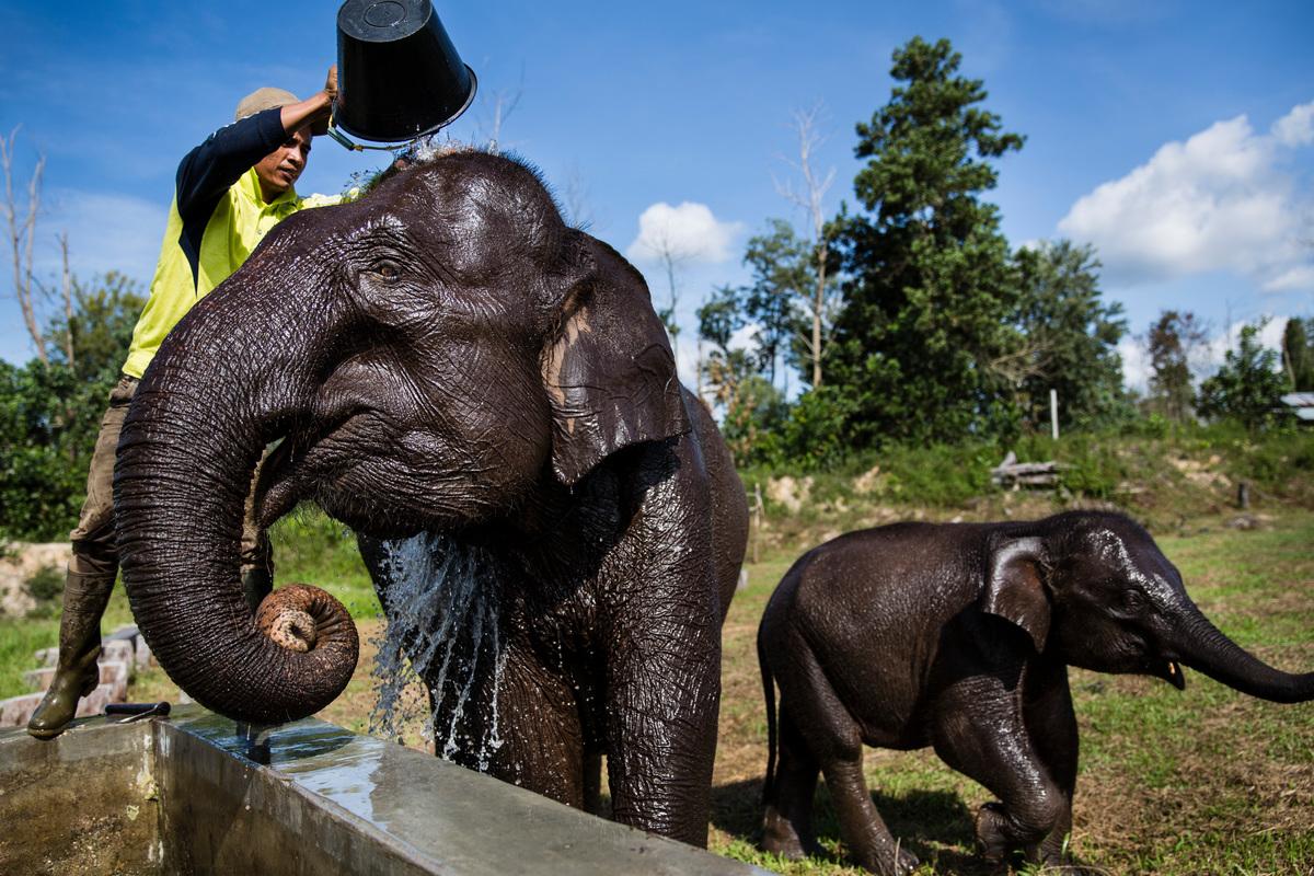 氣候異常炎熱時,大象會感到沮喪,紛紛「路倒」,村民會帶大象去水裡游泳、降溫。但是,解決問題的根本之道,是防止全球平均溫度上升,讓大象維持在溫和自然的狀態。© Kemal Jufri