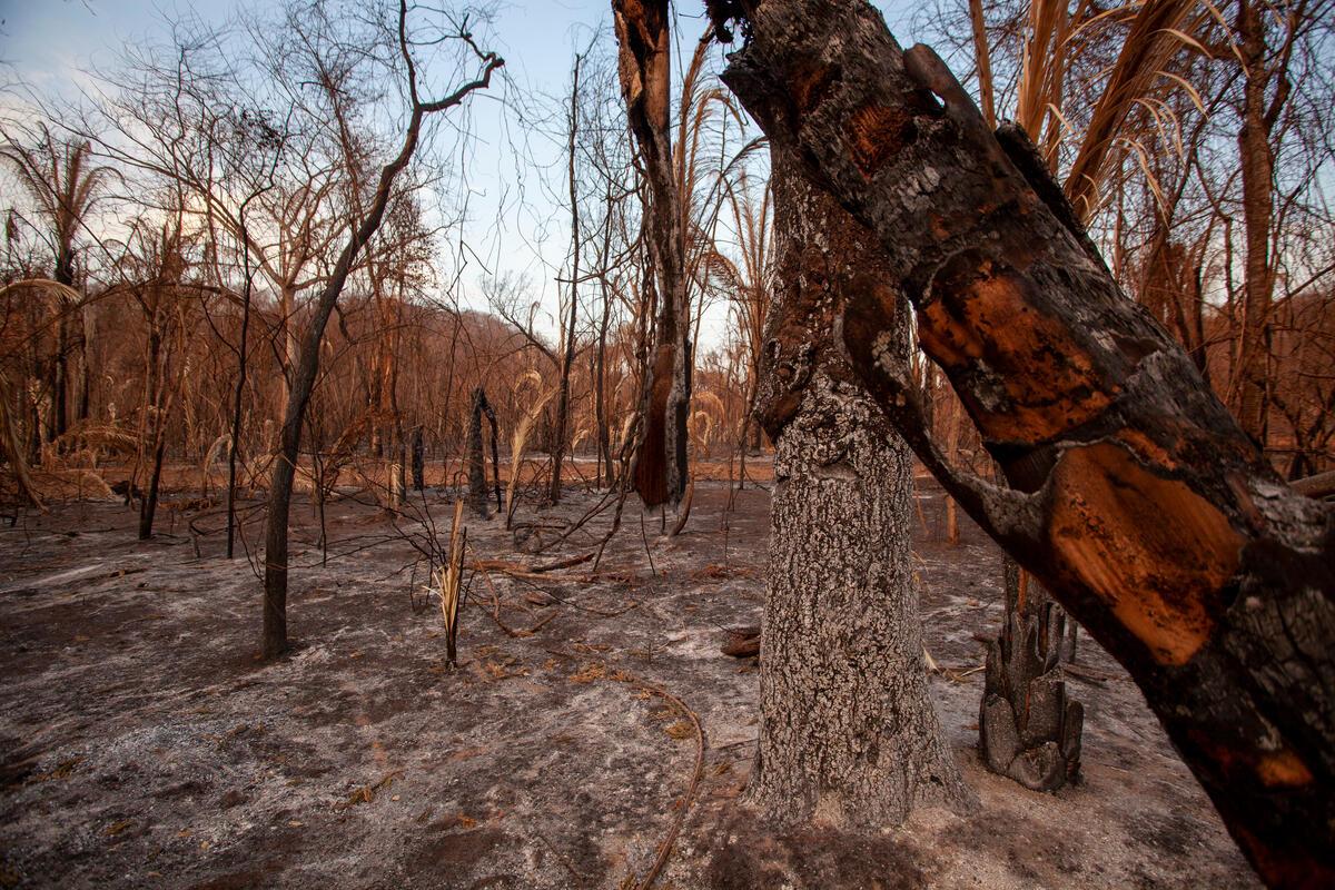 潘塔納爾濕地(Pantanal)是美洲豹、金剛鸚鵡等瀕危生物的家園,卻在2020年的森林大火中,被燒毀近三分之一面積。© Leandro Cagiano / Greenpeace