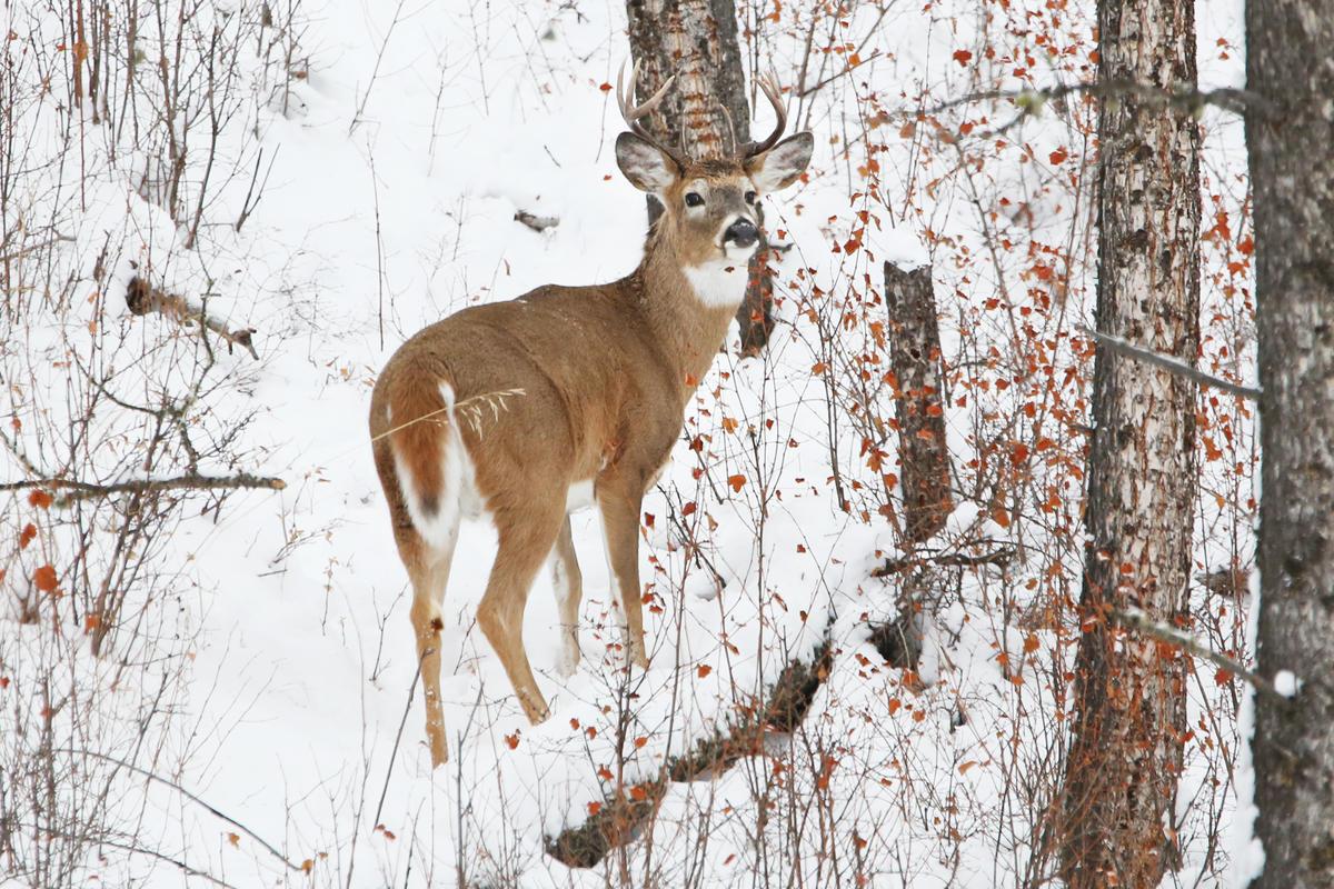 白尾鹿(White-tailed deer)出沒在美國黃石公園,是生態與食物鏈當中的其中一環。