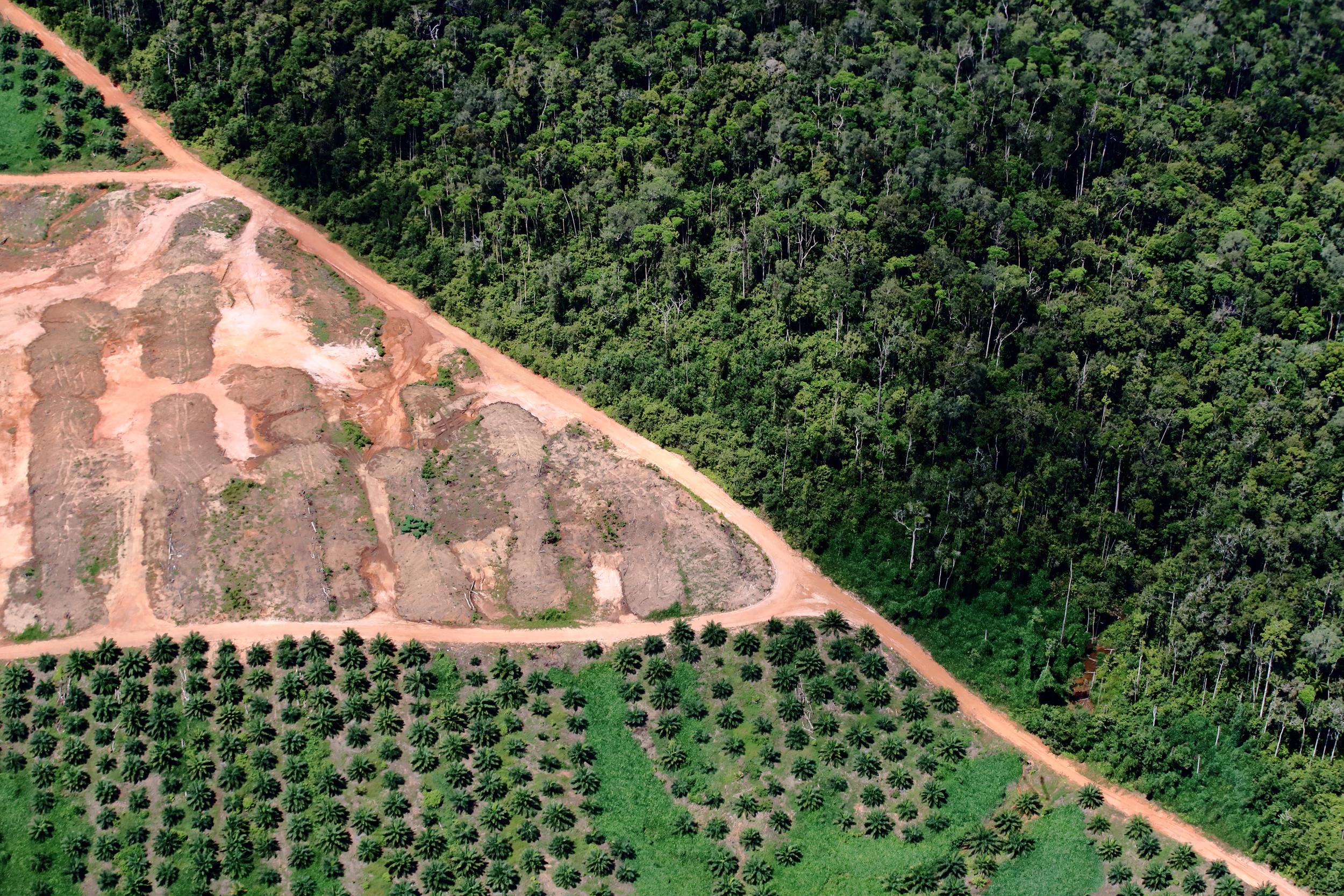 取得許可證的企業在清除森林後,將土地作為油棕櫚種植園,從中牟取巨大利益,經綠色和平調查,其中存在政商勾結之嫌。© Greenpeace