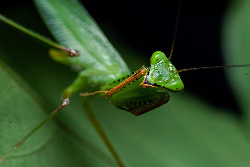 生物學家Leo Lanna成立「螳螂計劃」,深入亞馬遜雨林研究螳螂與昆蟲生態。© Projeto Mantis