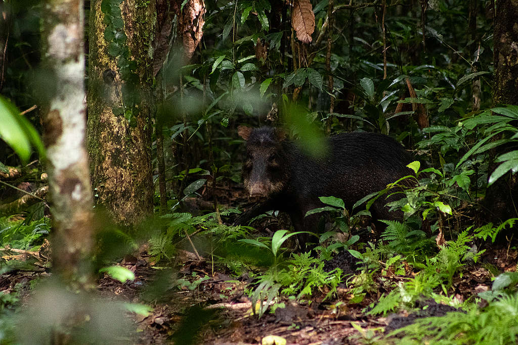 「螳螂計劃」團隊在亞馬遜雨林中,邂逅當地的野豬群落。© Projeto Mantis