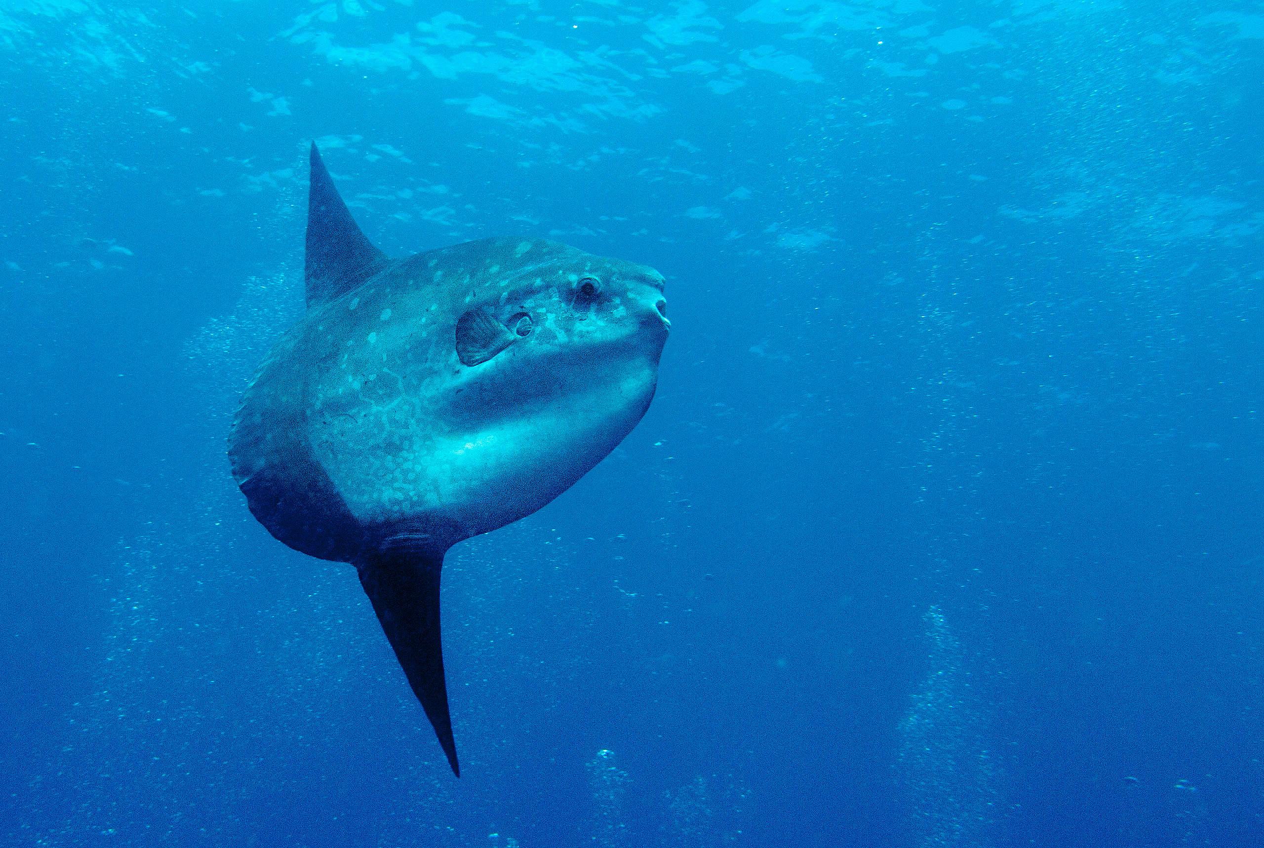 Mola mola也被稱作「翻車魚」或「曼波魚」,體型巨大可達3公尺、1000公斤,但溫和的性格使牠們容易被獵捕,在臺灣的魚群數量大減。
