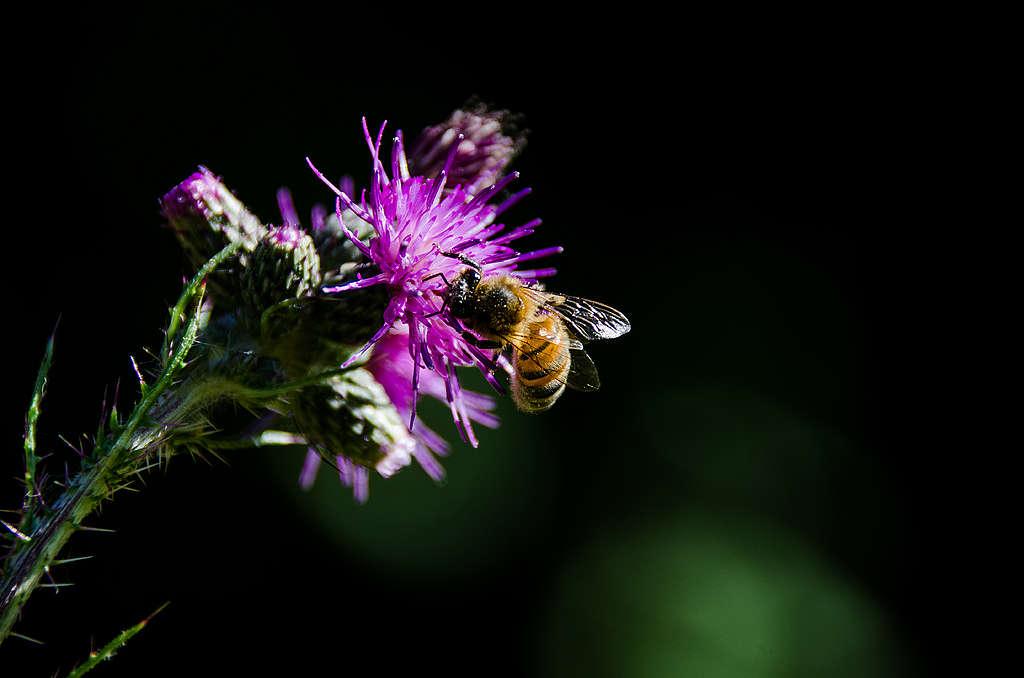 蜜蜂的授粉習性,對於農作和植物繁衍非常關鍵,也同時是部分物種的捕食對象。