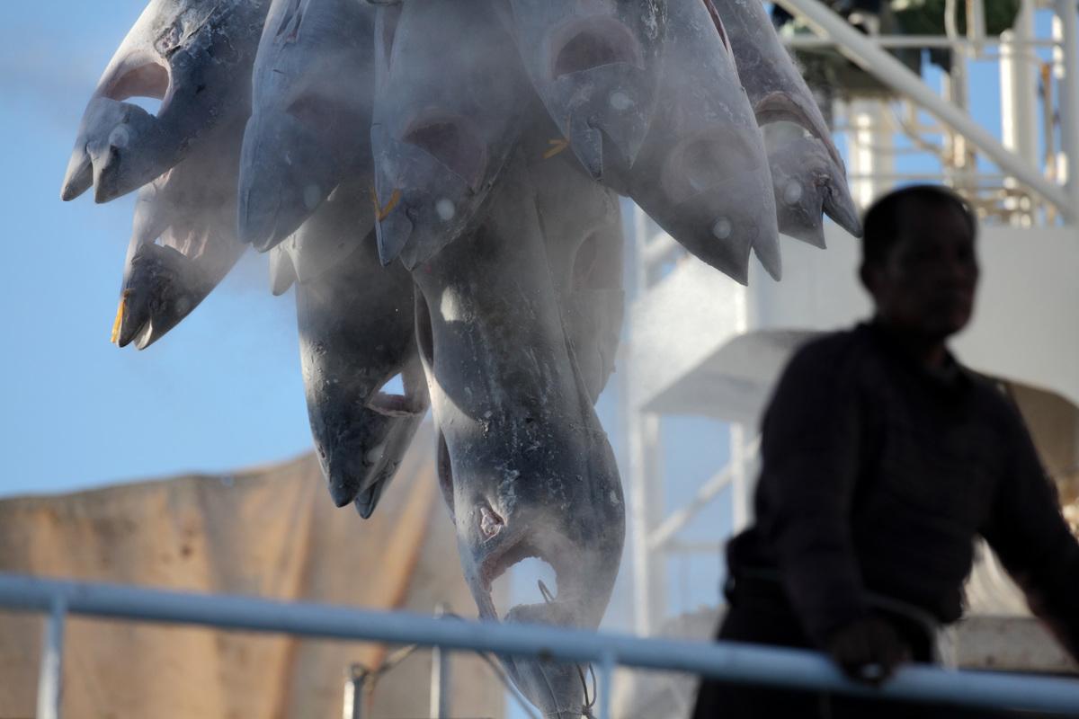 印度洋上捕撈的鮪魚,在公海上非法轉載,不僅造成海洋資源日益枯竭,更使遠洋漁工的工時過長。