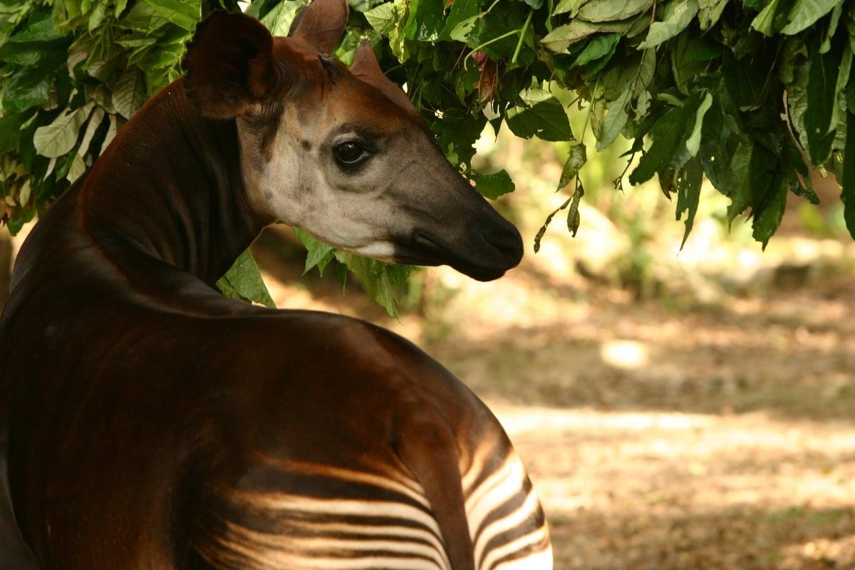 㺢㹢狓目前僅生活在剛果民主共和國東部熱帶雨林。這種動物是長頸鹿的親戚,在野外十分罕見。© Kim Gjerstad / Greenpeace