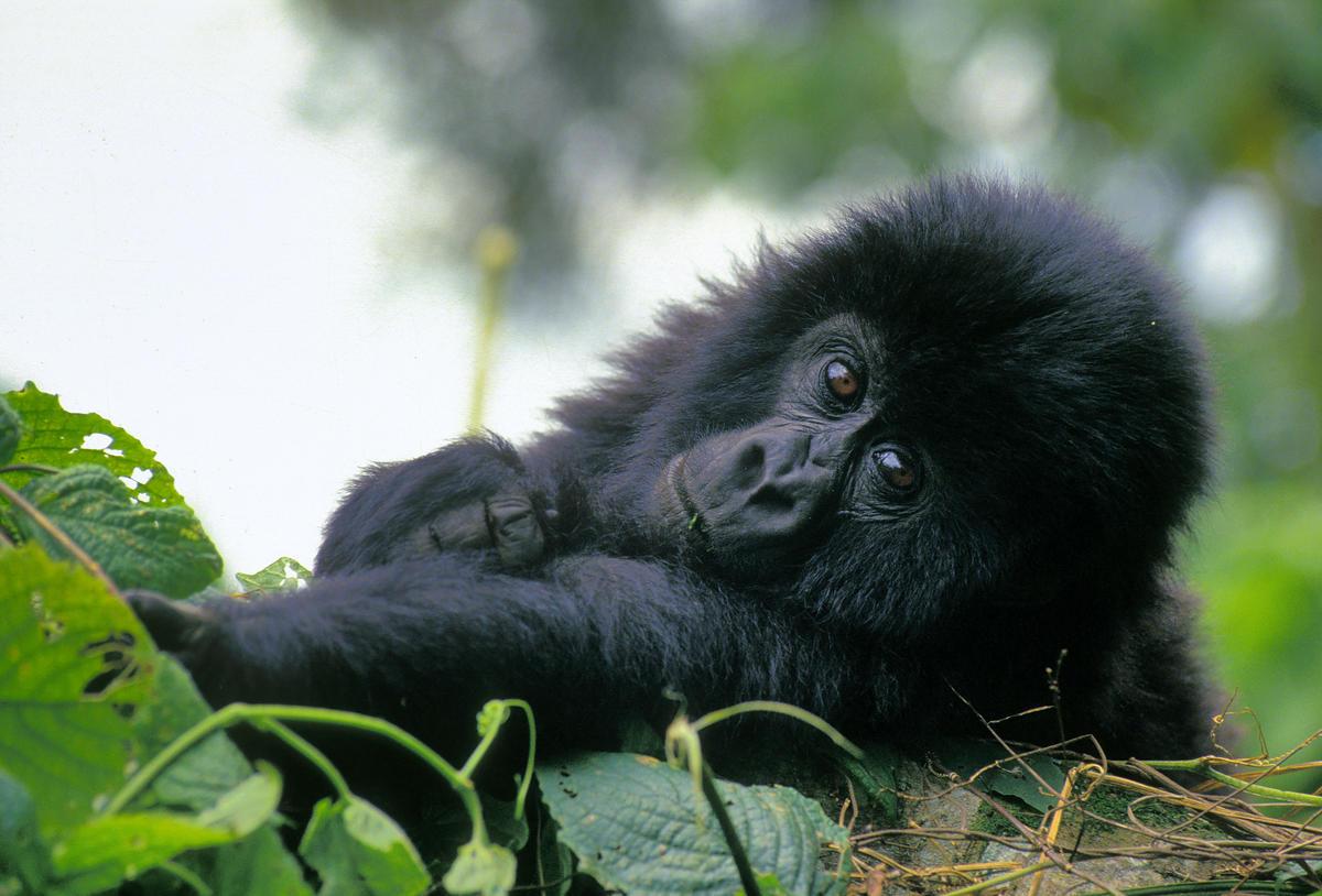 圖為生活在維龍加國家公園的山地大猩猩寶寶(Mountain Gorilla)。© Christian Kaiser / Greenpeace
