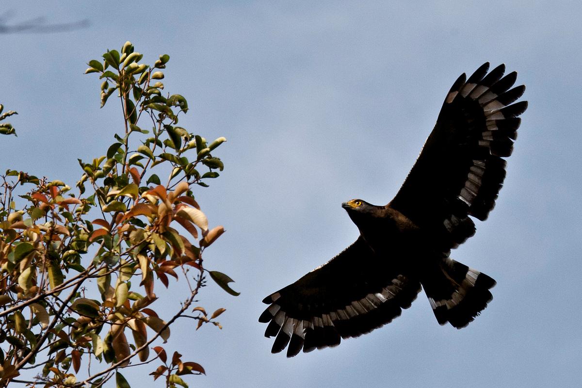 一隻老鷹飛過印尼丹絨將國家公園(Tanjung Puting National Park)的原始森林。 丹絨將國家公園是印尼重要的自然資產,卻因BGA集團(Bumitama Gunajaya Agro)持有經營特許權,並不斷擴張油棕櫚種植園,備受威脅。 © Ulet Ifansasti / Greenpeace