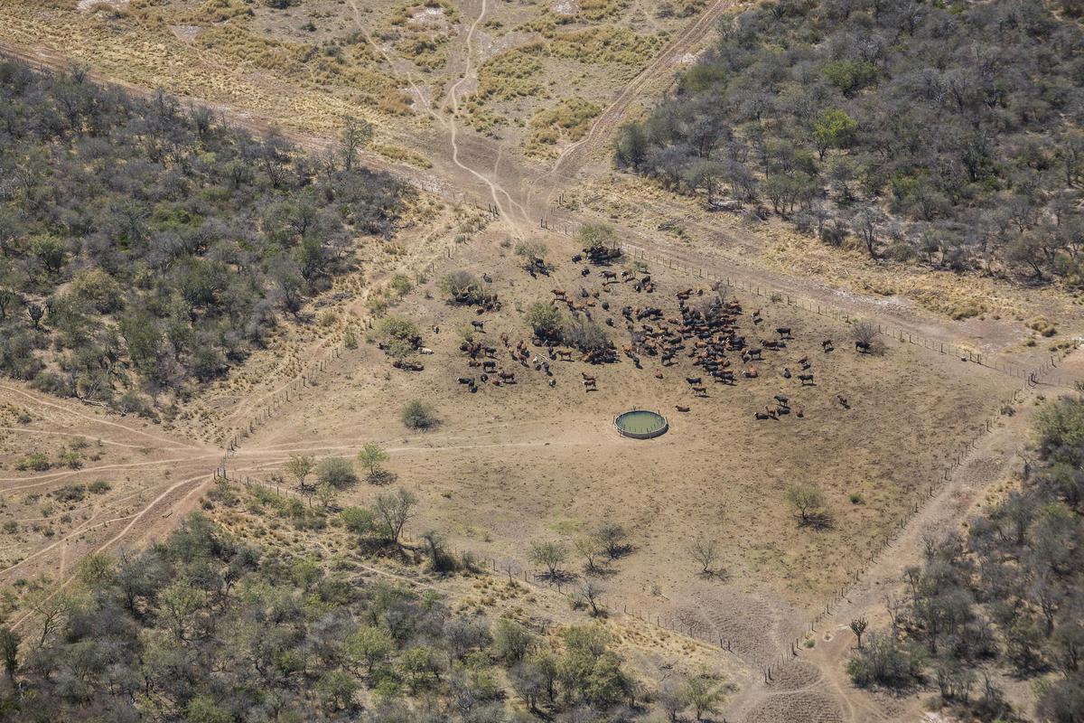 圖為阿根廷Inversora Juramento牧場。阿根廷北部森林遭砍伐的主要原因,是為了取得土地用於畜牧業和種植出口到中國和歐洲的大豆。© Sebastian Pani / Greenpeace