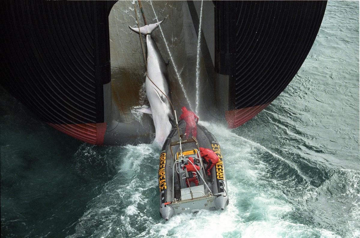 1999年,綠色和平將自身的汽艇與日本捕鯨船鉤在一起,當時捕鯨船正將一頭鯨魚拉上船,藉此阻擋漁船作業並表示反對捕鯨。