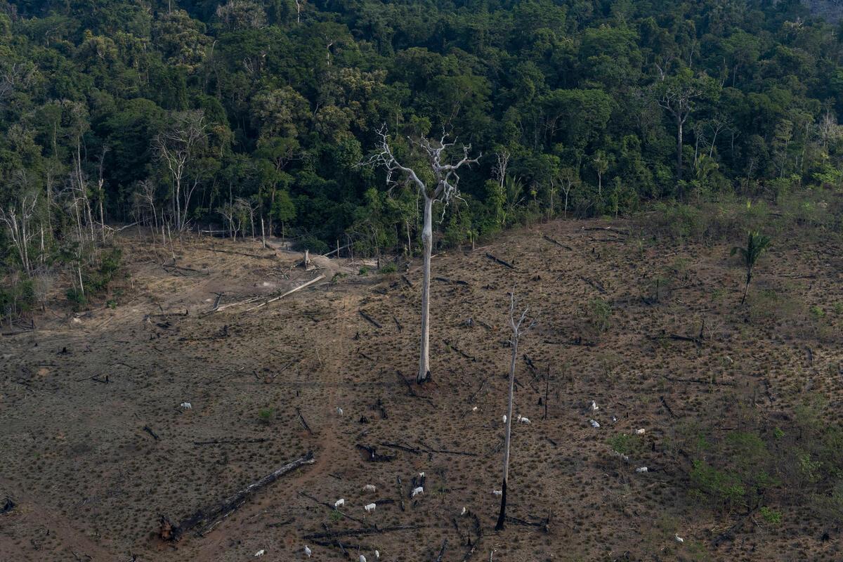 自波索納洛上任以來,巴西已經連續3年在1月至8月期間,有超過6,000平方公里的森林遭到砍伐,不僅破壞了當地原有的豐富生物多樣性,也加劇全球氣候危機。
