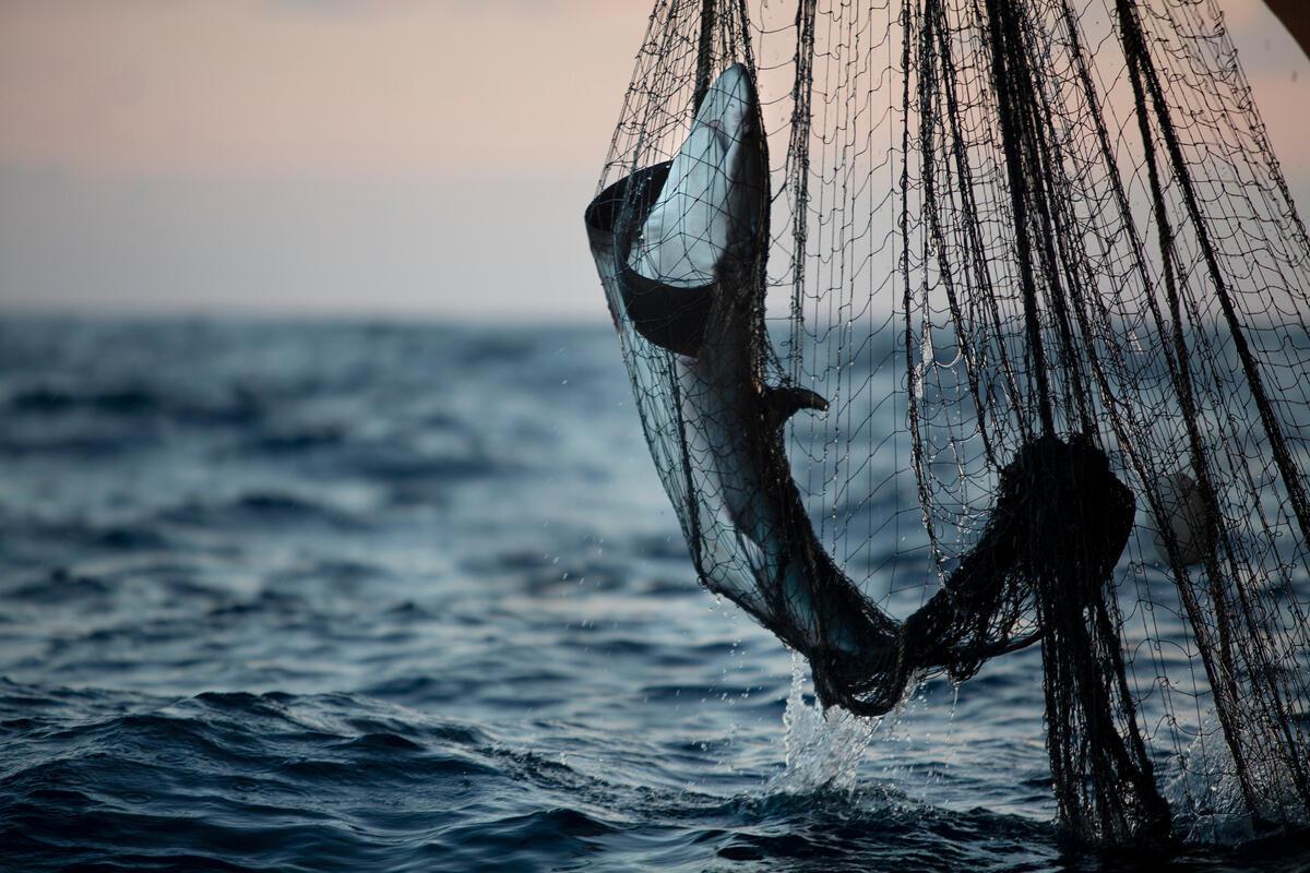 工業捕撈造成誤捕大量非目標魚種,此圖為綠色和平於印度洋上親眼目睹,漁船以「流刺網」破壞式漁法捕魚,鯊魚、鬼蝠魟等物種被魚網纏繞、掙扎致死。