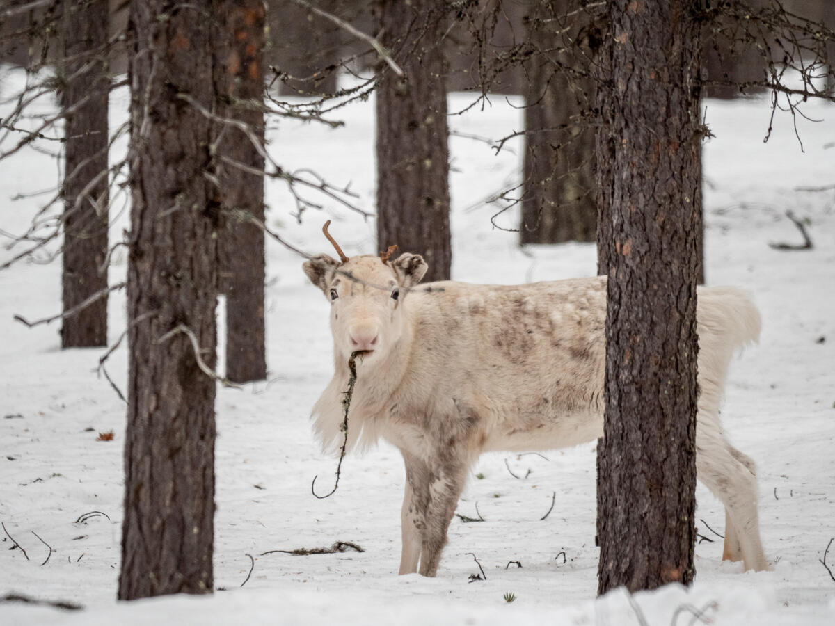 位於瑞典最北端的穆奧尼奧放牧社區,生活在北方森林中,因特殊的氣候與環境,孕育了薩米族原住民獨有的馴鹿遊牧文化。