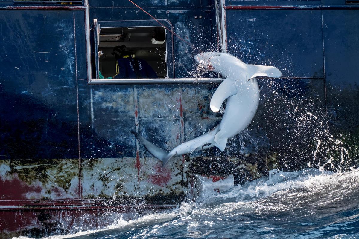 在大西洋用延繩釣捕捉劍魚船隻,鯊魚被勾住拖拉上船,往往會面臨割鰭棄身的命運。