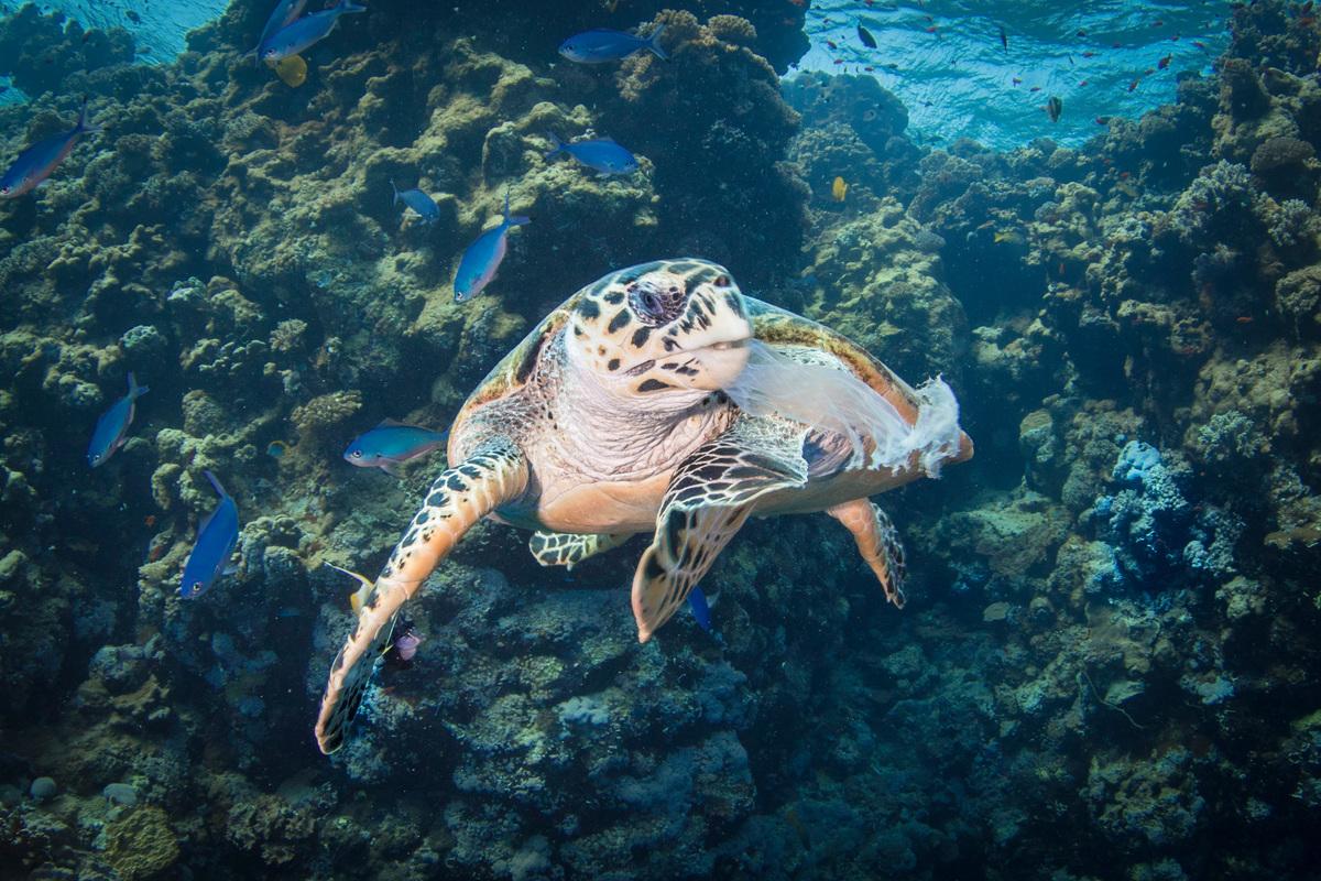 在埃及紅海的一片珊瑚礁中,一隻海龜正在吃進一片塑膠,顯示塑膠污染已直接破壞生態健康。
