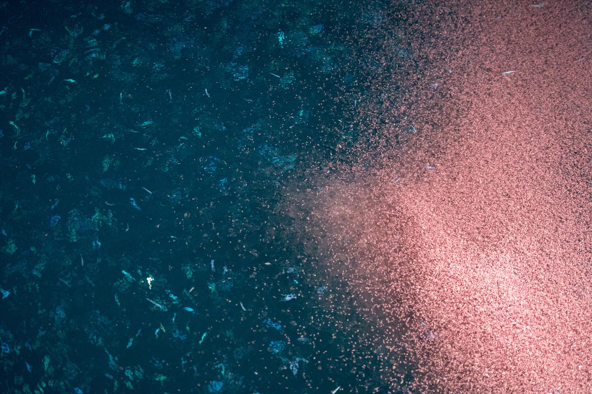 南極磷蝦為南極生態食物鏈的基礎,是企鵝、海豹、鯨魚等生物的主食。