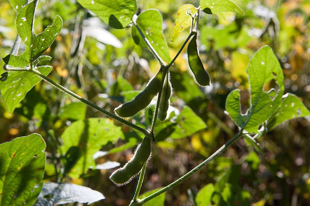 Organic Soya Bean Pods in Brazil. © Werner Rudhart / Greenpeace