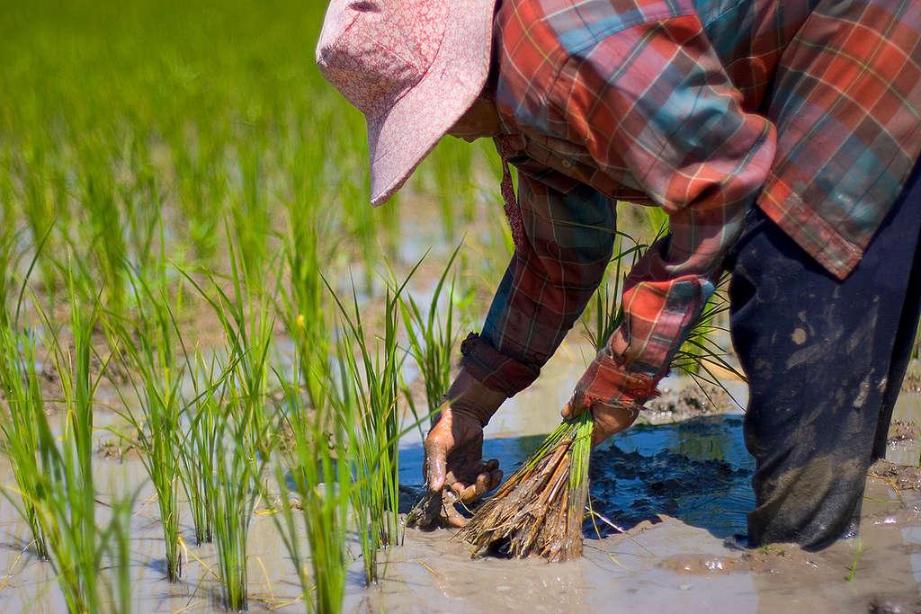Rice Farmers in Thailand. © Vinai Dithajohn / Greenpeace
