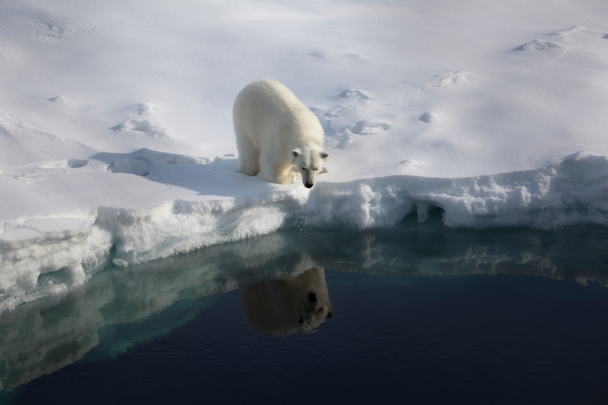 Polar Bear at Robeson Channel. © Nick Cobbing / Greenpeace