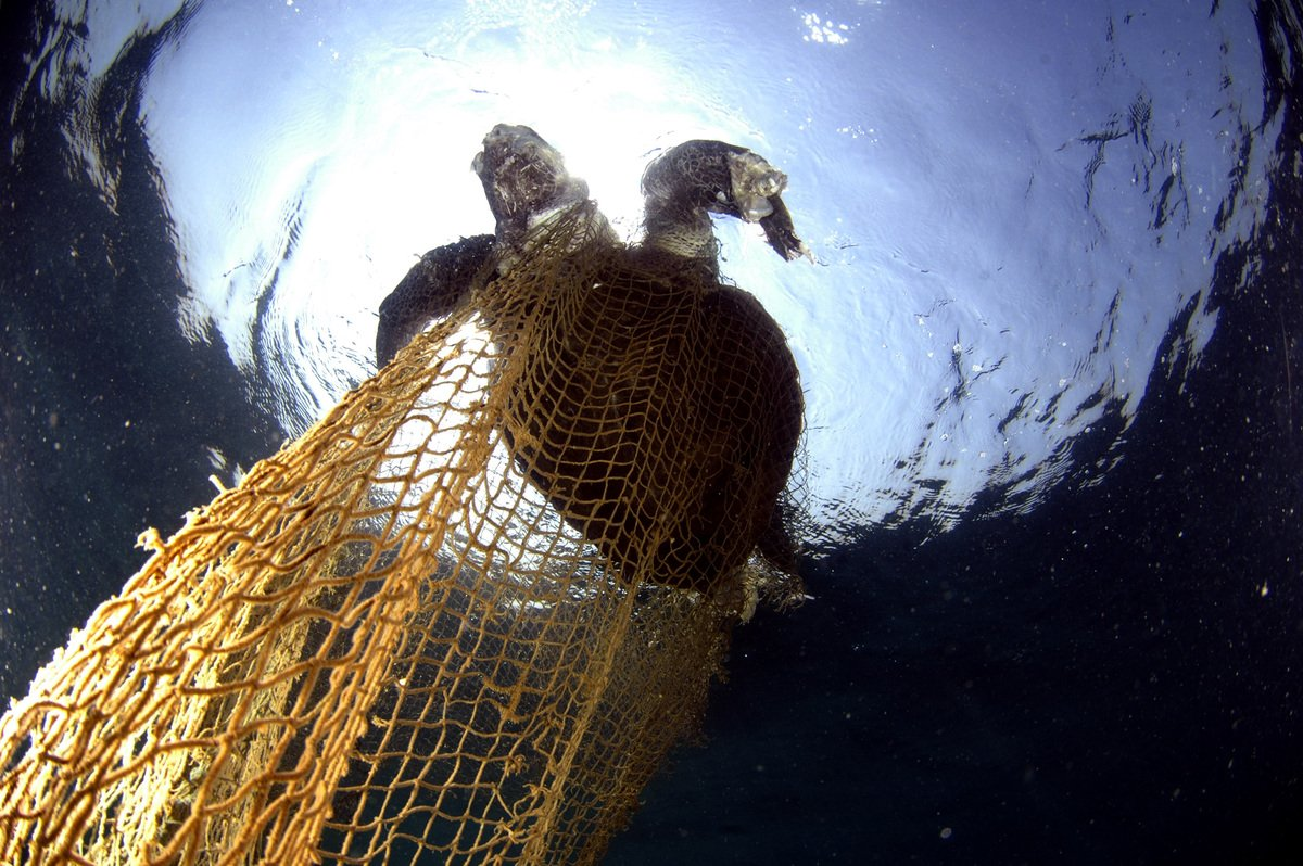 Olive Ridley Turtle Trapped in a Net. © Sumer Verma / Greenpeace