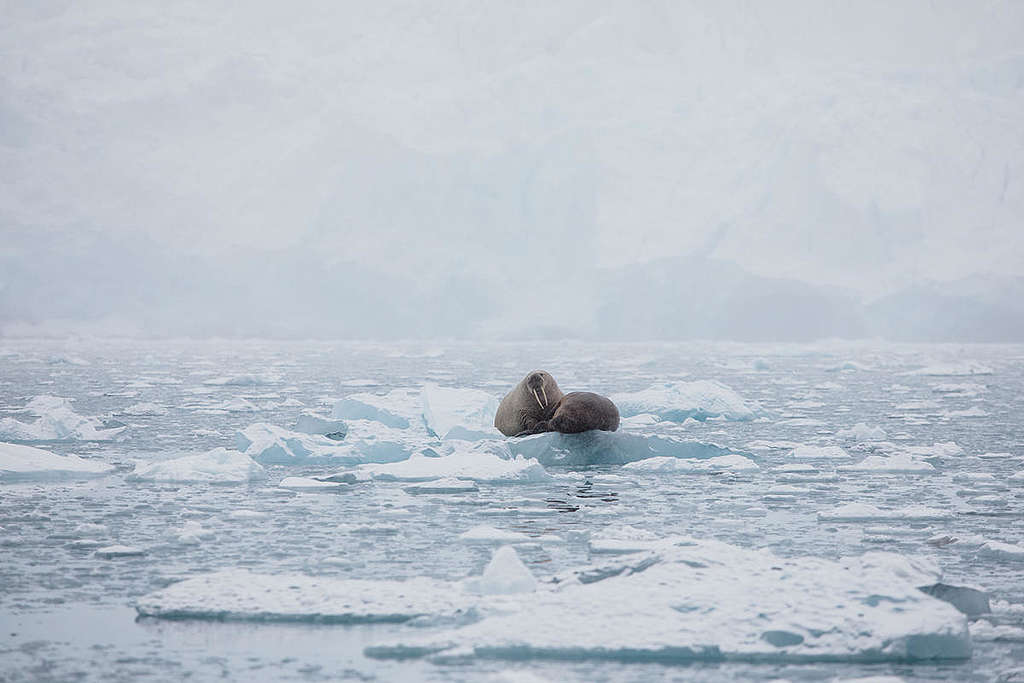 Walruses on Ice in the Arctic. © Denis  Sinyakov / Greenpeace