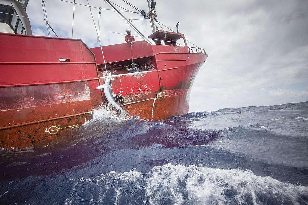 Investigating the Catching of a Shark in North Atlantic. © Kajsa Sjölander / Greenpeace
