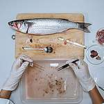 Microplastic Present in Wild Flathead Grey Mullet in Hong Kong. © Greenpeace