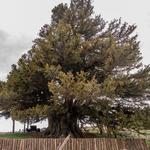 Saygımız sonsuz: Türkiye'nin en yaşlı ağaçları