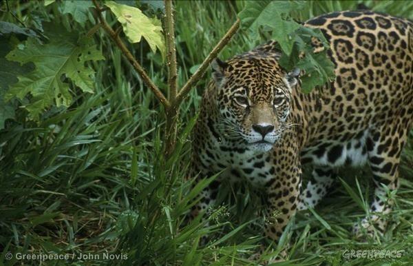 Amazon Jaguar
